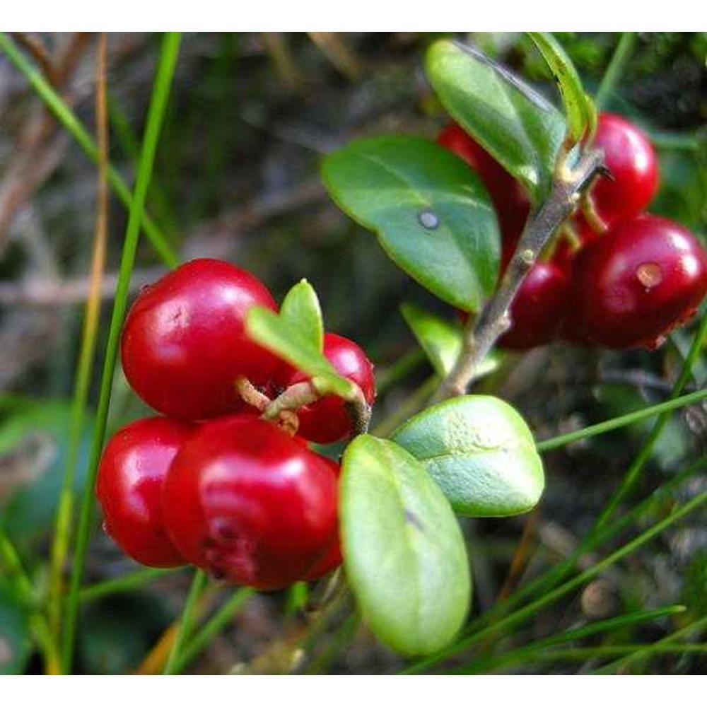 Lingonberries 100 γρ.